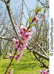 Peach trees in bloom, spring season.