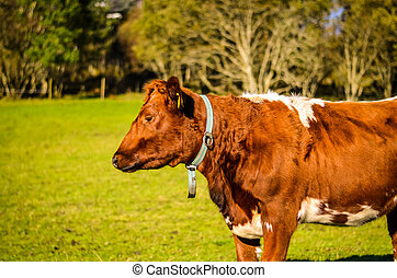 brown and white cow on the meadow