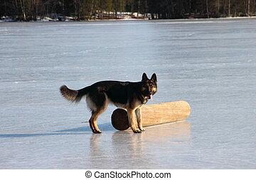 Alsatian dog on the frozen lake