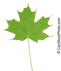 Isolated Green Maple Leaf - An isolated norway maple leaf