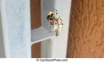Spider Wrapping its Prey - Spider Capturing and Wrapping an...