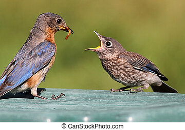 Female Eastern Bluebird Feeding A Baby - Female Eastern...