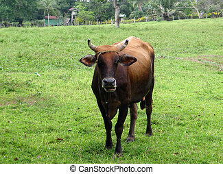 Cow with a head tie walking in a field in Costa Rica