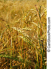 Vertical of barley field - Vertical close-up of superb color...