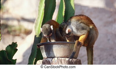 Squirrel Monkeys Eating - Two Funny Squirrel Monkeys...