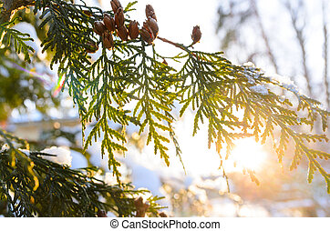 snowy tree branch at sunset - snowy winter christmas tree...