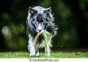 Border Collie with a bone.