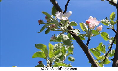 Apple tree flowers slide