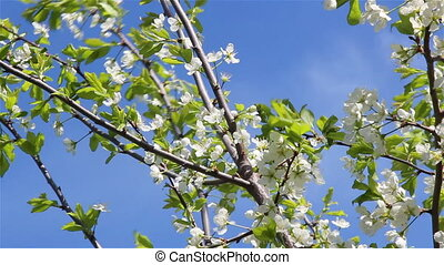 Branch of a plum tree - Plum tree branch with white flowers...