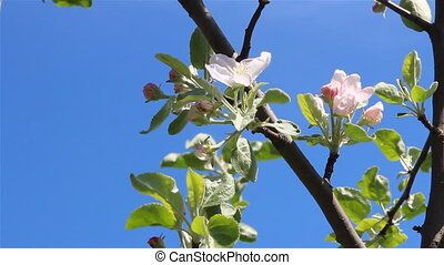 Apple tree flowers over a blue sky and a light wind