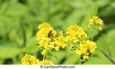 A bee on winter cress flowers - A bee gathering nectar on...