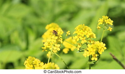A bee on winter cress flowers - A bee on winter cress flower...