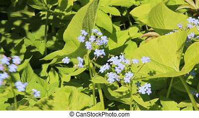 Forget me not flowers - Forget-me-not flowers in a garden on...