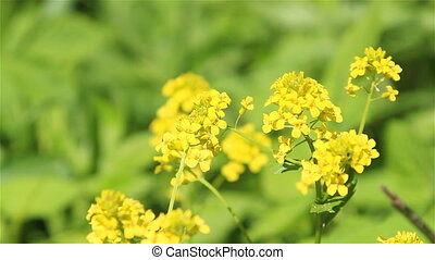 Winter cress flowers