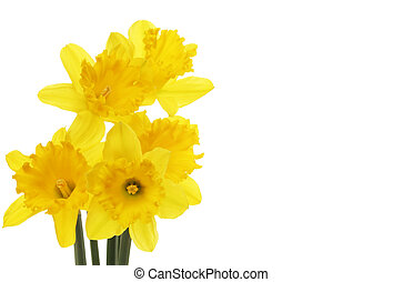 Daffodil flowers with copy space to the right
