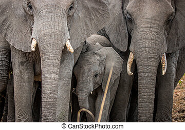 baby, zwischen, herde, Elefanten, elefant