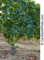 grapevine with many bunches of organic grapes - grapevine...