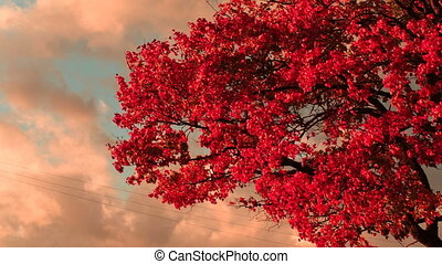 bright red maple leaves against the blue sky with clouds