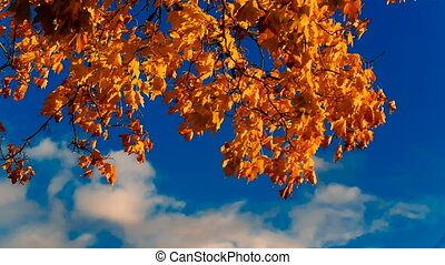 Autumn yellow maple leaves against the blue sky with clouds