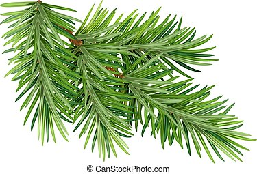 Green fluffy pine branch. Isolated on white background....