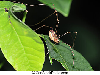 A daddy longlegs perched on a plant leafClass: Arachnida...