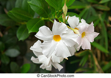 Mandevilla, Rocktrumpet flowers with white petals and yellow...