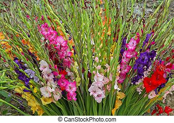 rosa, colorido, púrpura, amarillo, gladiola, blanco, flores,...