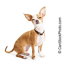 Funny Chihuahua Dog Squinting Eyes - Funny photo of...