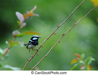 Blue wren superb fairy wren - a beautiful little bird, male...