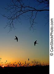 Barn swallow over night sky background - Free flying bird...