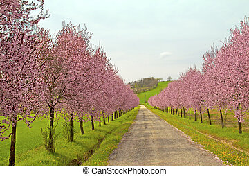 Peach trees - Road coasted by peach trees full of pink...
