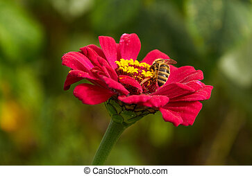 Bee on the flower at work on zinnia flower