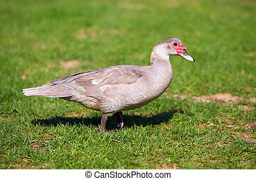 Chocolate muscovy duck standing on the green grass -...