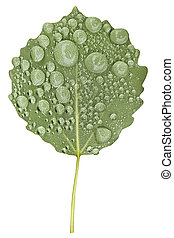 Green aspen tree leaf with raindrops