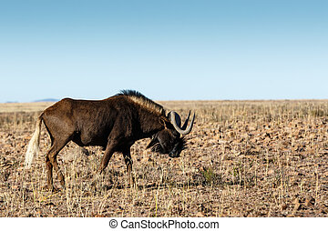 Single Black Wildebeest in the field - Single Black...