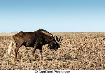 Single Black Wildebeest in the field - Single Black...