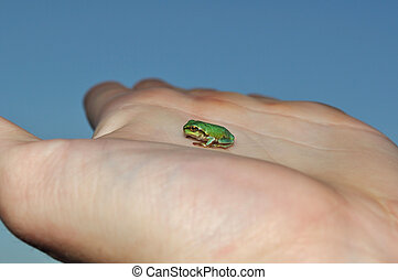 European tree frog on hand - Little green European tree frog...