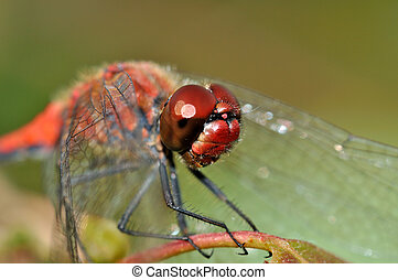 Big red face of red dragonfly
