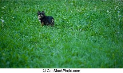 Small Dog Running thru the grass - Moscow toy terrier...