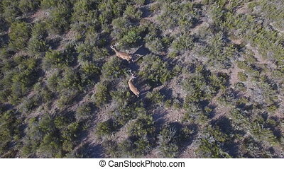 Hoovering male deers in the smoothness, top view - 2 deers...
