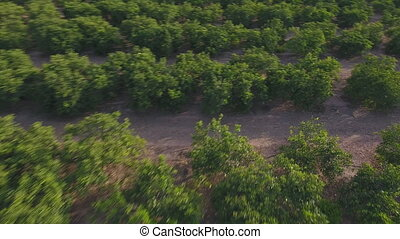 Aerial view falling over orange tree field - Falling into...