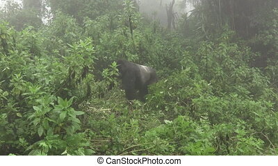 Silverback mountain gorilla approaches to tourists - Front...