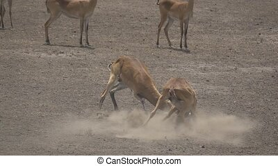 Uganda kobus kob males fighting in super slow motion - Super...