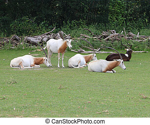 rare scimitar oryx herd grazing the grass - rare scimitar...