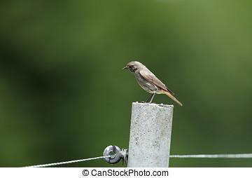 Red-tail bird in the garden