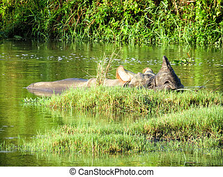 One Horned Rhino in River