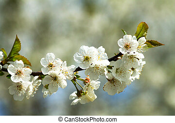 Branches of flowering apple tree 1 - sprinkled with white...