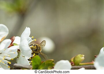 bees on flowers apple 5 - bees collecting nectar from...