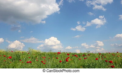 poppies flower and blue sky with clouds landscape