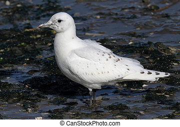 Rare Ivory Gull (Pagophila eburnea) standing on a rock by...
